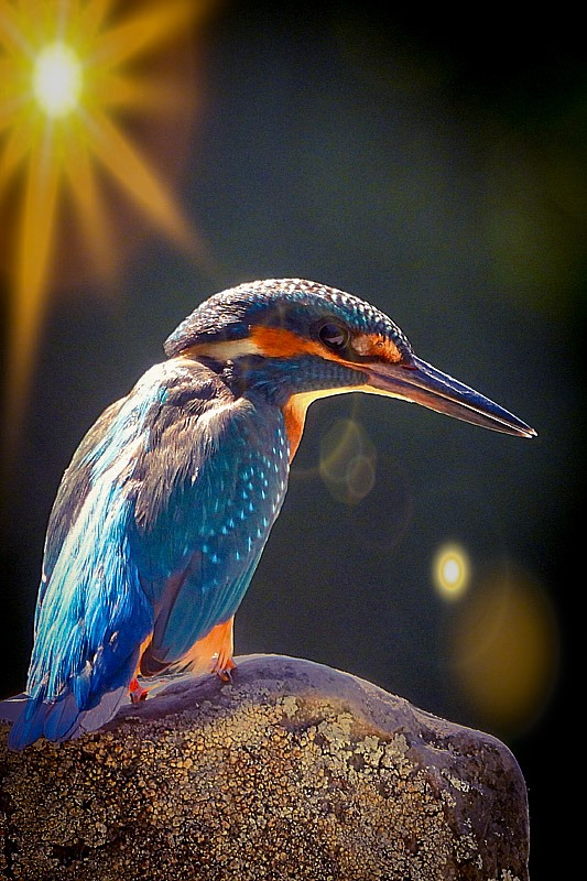 IJsvogel in het zonlicht