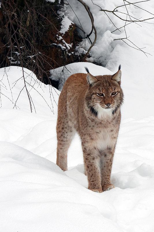 Prachtig getekende Lynx 2019