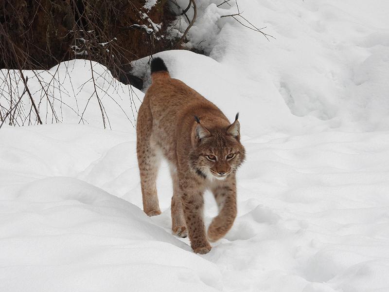 Lynx in de sneeuw 2019
