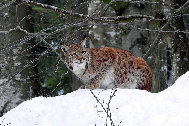 Lynx op de uitkijk 2019