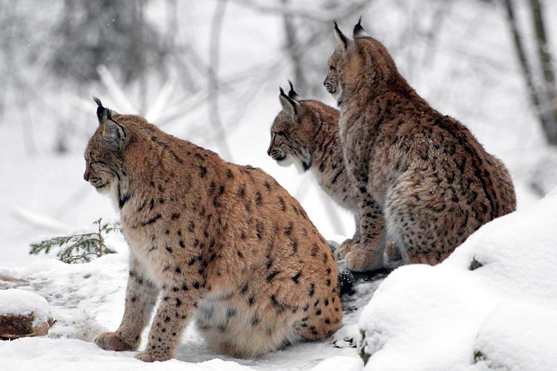 De lynxs met haar twee jongen 2018