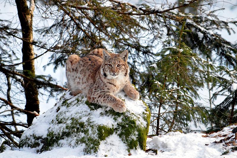 Jonge Lynx op de troon 2018