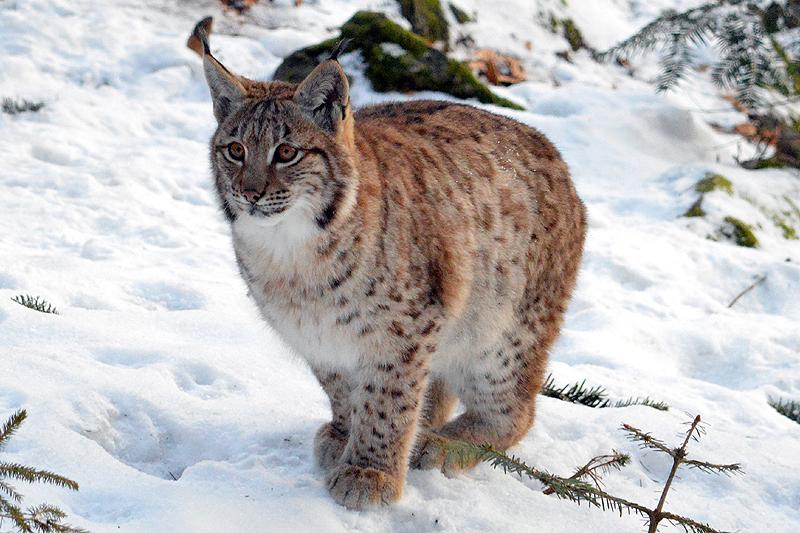 Jonge Lynx in de sneeuw 2018