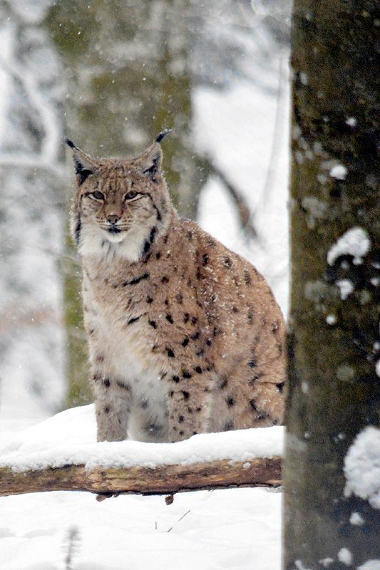 Jonge Lynxs tijdens sneeuwbui 2018