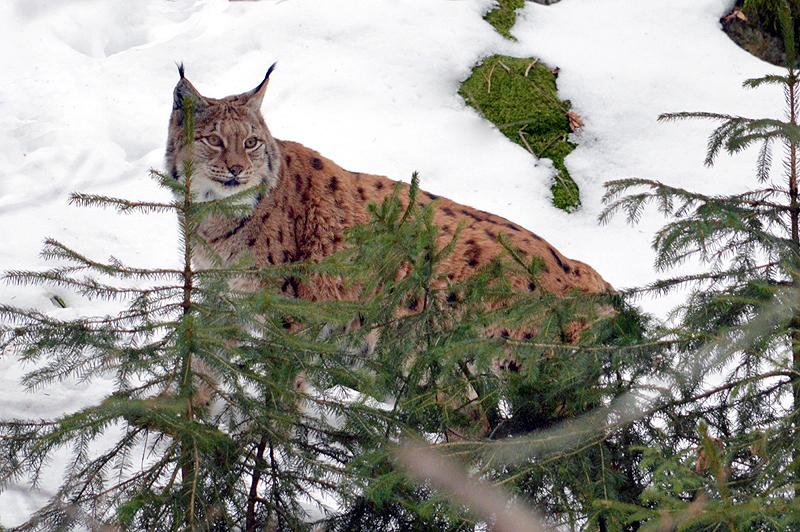 Vader Lynxs houd alles in de gaten 2018