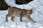 Lynxs in de sneeuw 2018