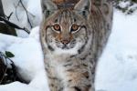 Jonge Lynxs in de sneeuw