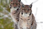 Jonge Lynxsen tijdens sneeuwbui