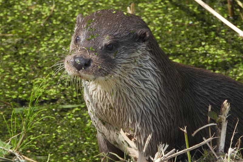 Close-up otter