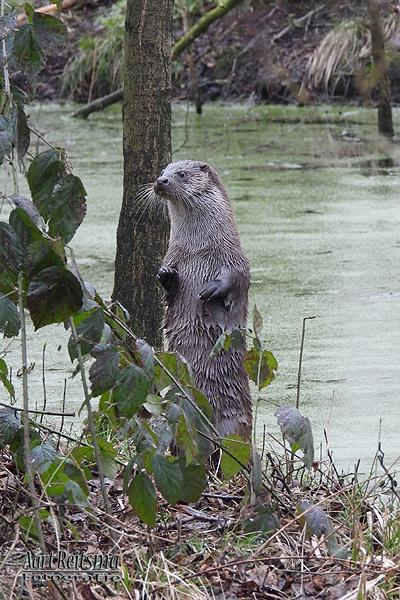 Otter op de uitkijk