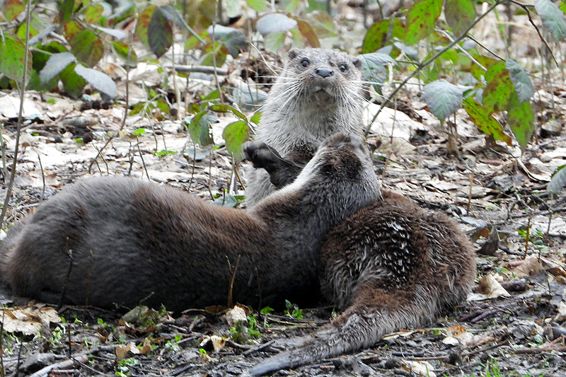 Otters helemaal in love