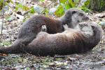 Twee stoeiende otters
