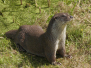 De otter in Nederland