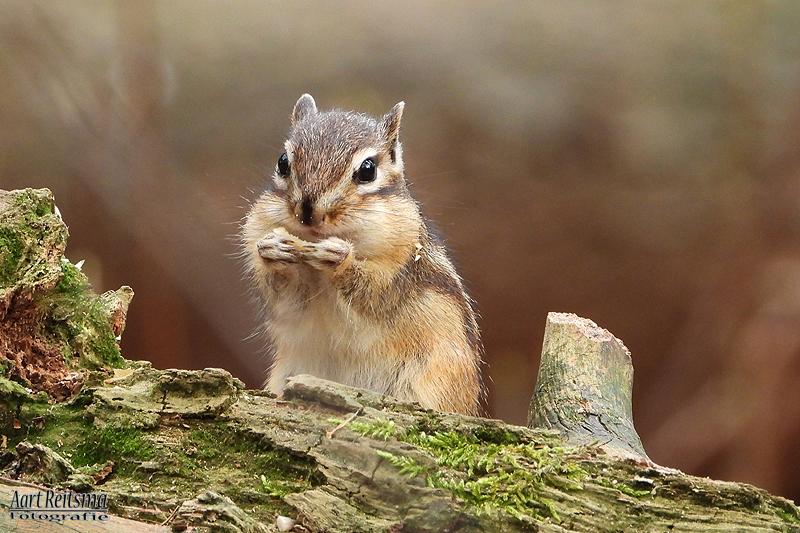 Syberische grondeekhoorn eeet nootje