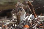 Syberische grondeekhoorn