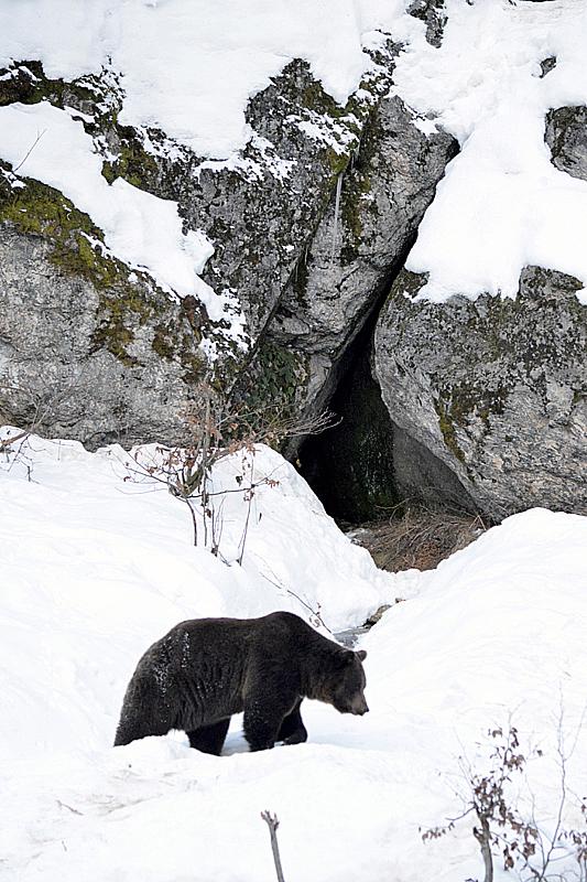 Bruine beer bij zijn hol