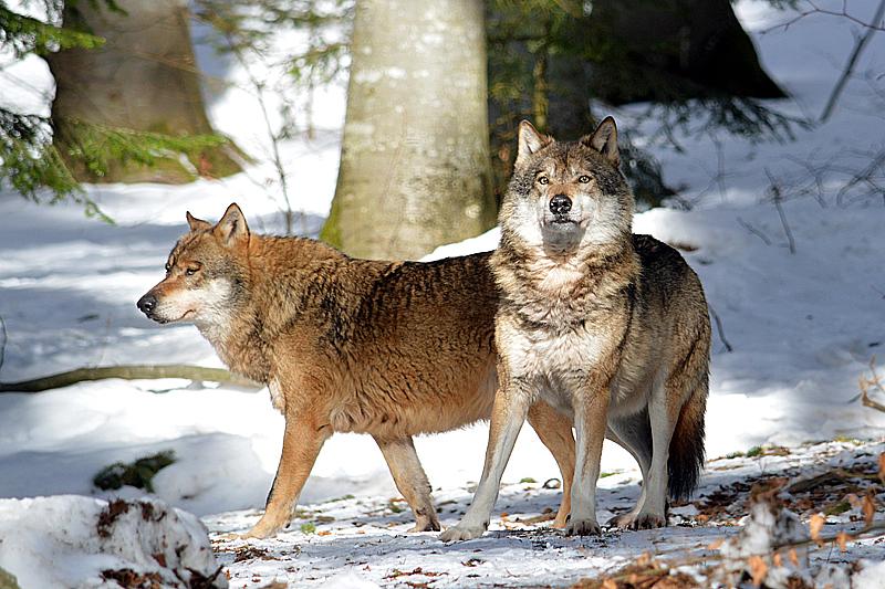 Deze wolven hebben ons gespot