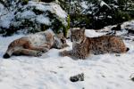 Spelende jonge Lynxen