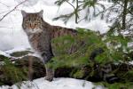 De Europese wilde kat