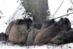 Jonge wilde zwijntjes houden elkaar warm