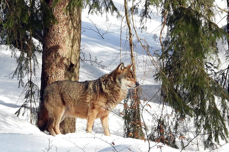 Wolf bovenop de berg