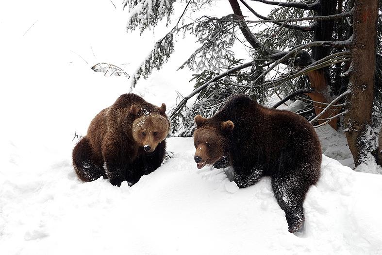 Twee beren aan het stoeien