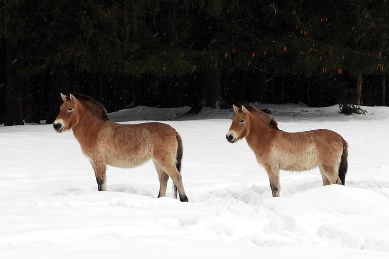 Przewalski paarden