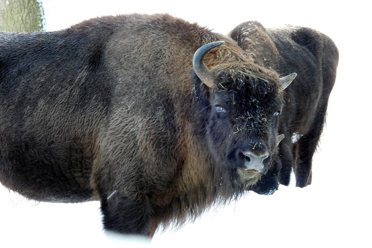 Wisent of ook wel europese buffel genoemd