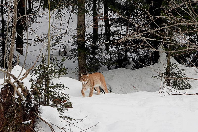 Grote Lynx komt aansluipen