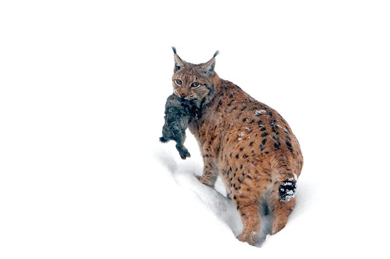 Lynx met prooi