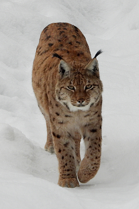 Prachtige Lynx