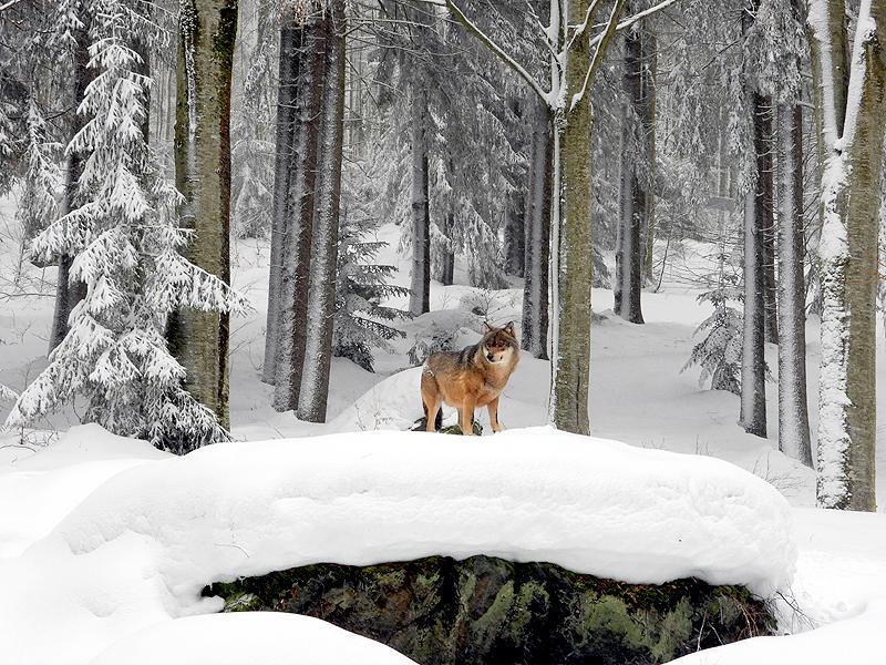 Prachtig deze wolf in het witte landschap