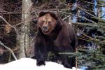 Grote bruine beer op de uitkijk bovenop rots