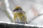 Kruisbek vrouwtje  tijdens sneeuwbui