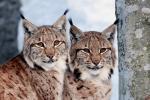 Twee Lynxen op de uitkijk