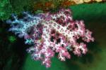 Hemprichs zacht koraal