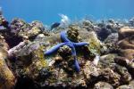 Blauwe zeester