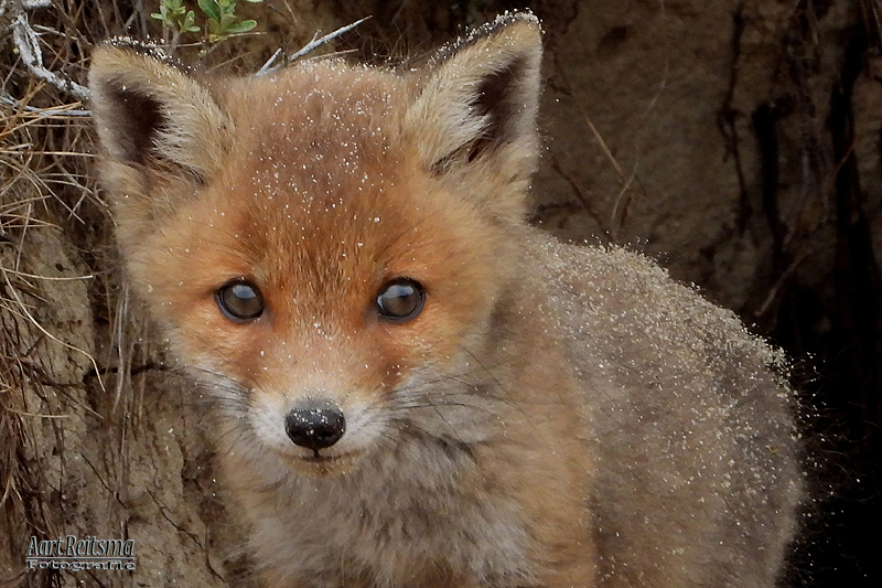 Jonge vosjes, 5 stuks  -25-april-2019