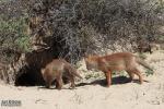 Jonge vosjes op zoek naar de andere 3,  nu nog 2 stuks 9 mei-2019