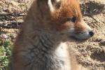 Jonge vosje begint al aardig te groeien   9 mei-2019