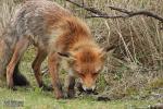 Moeder vos heeft vogel voor jongen gevangen