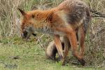 Moeder vos heeft vogel voor jongen gevangen en brengt dit naar burcht