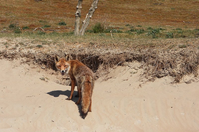 Moeder vos voor de vossenburcht