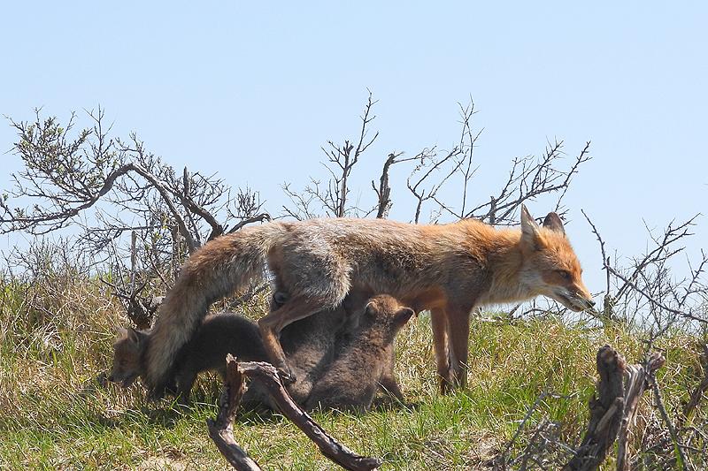 Zoogend bij moeder vos