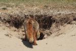 Moeder vos bij haar vossenburcht
