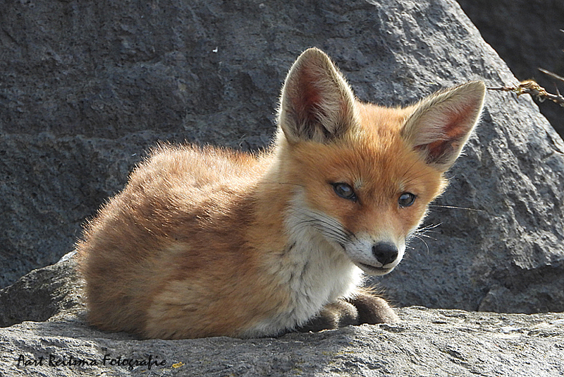 Jong vosjes op granietblok langs zee -  3 mei 2021