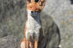 Oude vos geniet van het zonnetje - 13 mei 2021