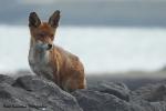 Oude vos houd ons in de gaten  - 3 mei 2021