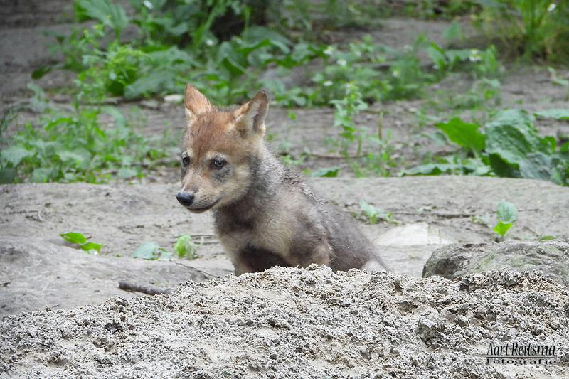Jong wolfje bij ingang hol, 2 juli 2020