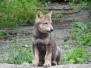 Jonge wolfjes in Nederland